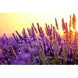 Aromatipp: Lavendel – das blaue Wunder für jeden Schüler